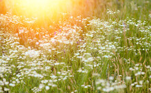 Background Camomile Field And Sunset. Wildflowers Camomile And Grass In The Summer. Nature And Flowers. Phytotea. Phytotherapy. Sun Rays, Bokeh Effect, Flash.