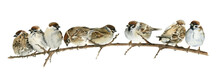 Watercolor Drawing Sparrows Si...