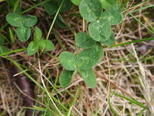 Four Or Six Leaf Clover