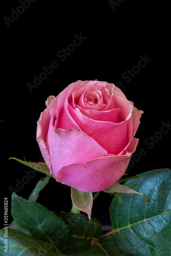 Single isolated pink red rose with leaves on black background, fine art still life macro in vintage painting style