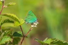 Green Hairstreak Callophrys Rubi Butterfly Resting Closeup