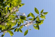 Tree Bird Cherry In Garden Inf...