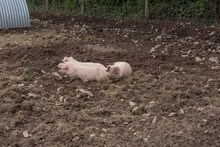 Pink Domesticated Pigs (Sus Sc...