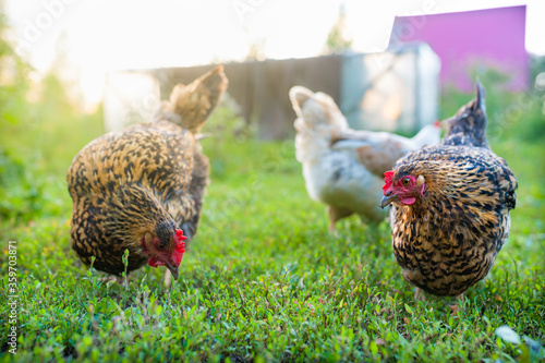 Fotografija Red-speckled chickens freely foraging in the grass in the garden