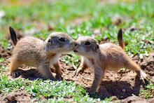 Prairie Dog Pups