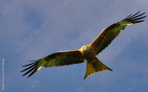 red kites flying with a blue sky background Wallpaper Mural
