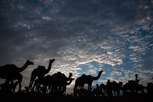 Silhouette Of Camels On A High...