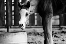 Foal Horse Being Funny In Blac...