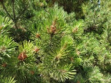 Needles On A Pine Branch. Pine...