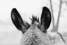 Mini Donkey Ears Wet From Rain...