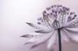 Astrantia - delikatny kwiat