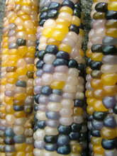 Vertical Closeup Of Ears Of 'Glass Gem' Corn, A Variety Of Flint Corn With Glossy Kernels In A Variety Of Colors