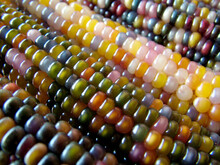 Horizontal Closeup Of Several Ears Of 'Glass Gem' Corn, A Variety Of Flint Corn With Glossy Kernels In A Variety Of Colors