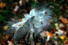 Milkweed Seeds 1