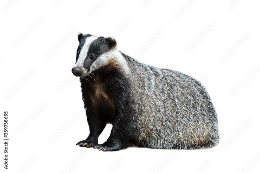 Fototapeta European badger (Meles meles) against white background
