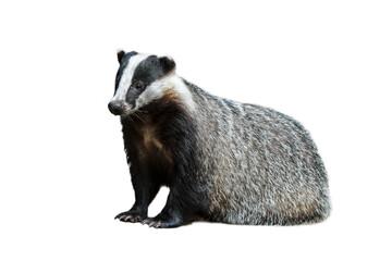 European badger (Meles meles) against white background