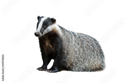 Fotografia European badger (Meles meles) against white background