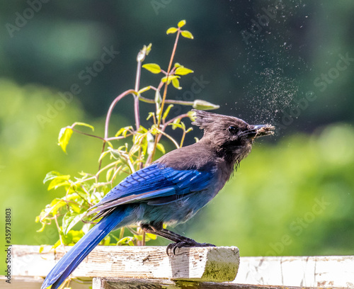 Photo Blue Jay perched on a trellis with blurred background eating a large moth, salem Oregon