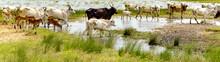 American Brahman Cattle Yala National Park, Sri Lanka