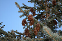 Vibrant Green Spruce Tree Fore...