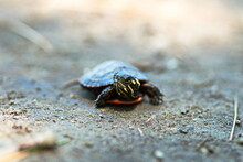 Baby Painted Turtle Found Near...