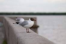 A Black-headed Gull Rests On The Parapet
