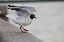 A Black-headed Gull Rests On T...