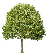 Linden. Cut Out Green Tree Iso...