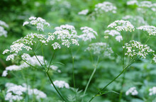 Forest Plant Queen Anne's Lace...