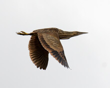American Bittern Bird Stock Photos.  American Bittern Bird Flying With A  White Background. Flying Bird. Spread Wings.