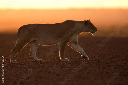 Lioness walking in the early morning at Masai Mara