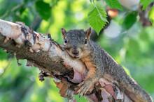 Squirrel Resting On A River Birch Branch