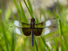 Male Widow Skimmer Dragonfly W...