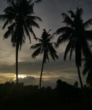 Evening Scene With Coconut Tre...