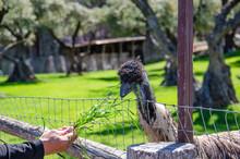 Ostrich Eats Grass From Human ...