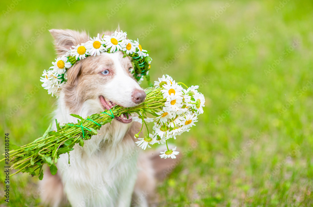 Border collie dog wearing wreath of daisies holds a bouquet of daisies in its mouth and sits on green summer grass. Empty space for text