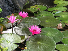 Nymphaea Nouchali Or Nyuphaea Stellata Or Star Lotus Or Star Water Lily In Thailand.