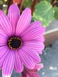 canvas print picture - Close-up of a pink daisy during spring.