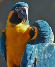 Close-up Portrait Of Two Blue ...