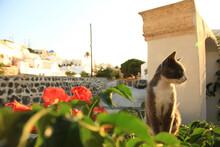 Stray Cats In Santorini, Greece.