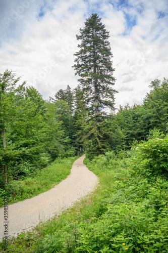 Canvas Print giant fir tree, abies alba near lake langbathsee, ebensee, salzkemmrgut, upper a