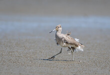 Willet With Messy And Ruffled Feathers