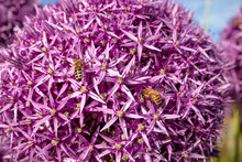 Purple Bee-friendly Flower Bal...