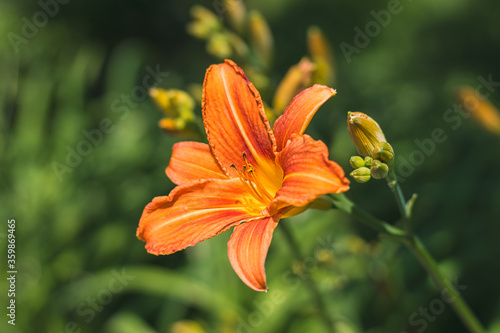 Cuadros en Lienzo The orange daylily (Hemerocallis fulva) - beautiful blooming flower, on a green