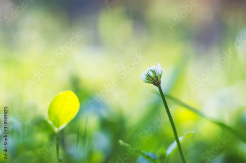 Fotomural clover in the grass - white clover flower, close up view