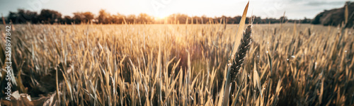 Obraz Wheat field at sunrise in Summer - fototapety do salonu