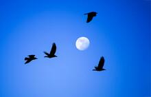Crows In Full Moon Sky