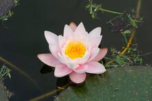 White Pink Lotus With Yellow P...