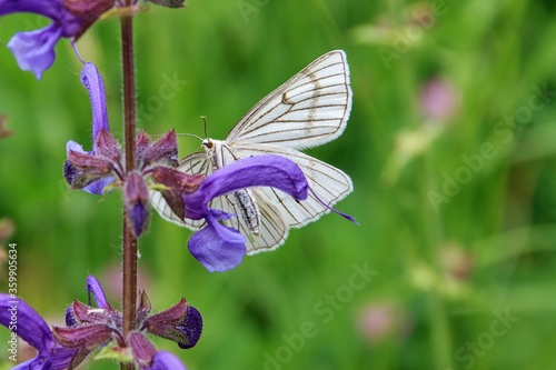 Closeup of large black-veined white butterfly (probably Aporia crataegi) sitting on violet flower in meadow on sunny summer day Wallpaper Mural