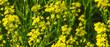 Leinwandbild Motiv Beautiful summer field with blooming yellow flowers, yellow background